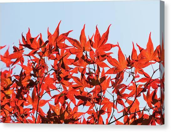 Maple Tree Foliage Canvas Print by Andrew Dernie