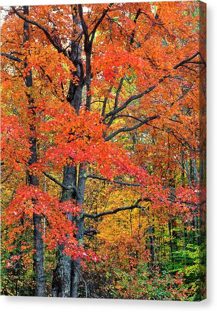 Maple Tree In Belknap Mountains, New Canvas Print