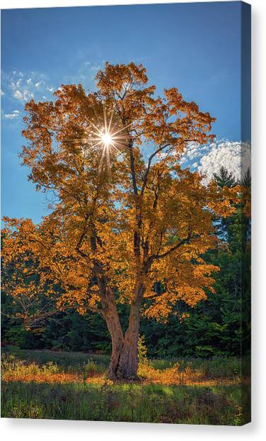 Canvas Print featuring the photograph Maple Tree In Full Autumn Glory by Rick Berk
