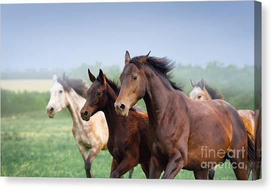 Cowboy Canvas Print - Mare With Foal Galloping In A Field by Kornela