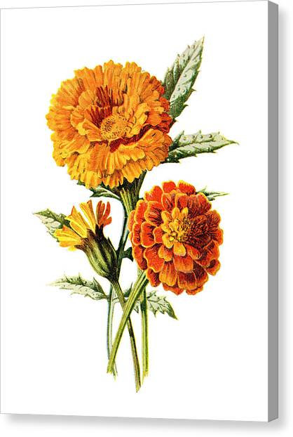 Dahlias Canvas Print - Marigold Flower by Naxart Studio