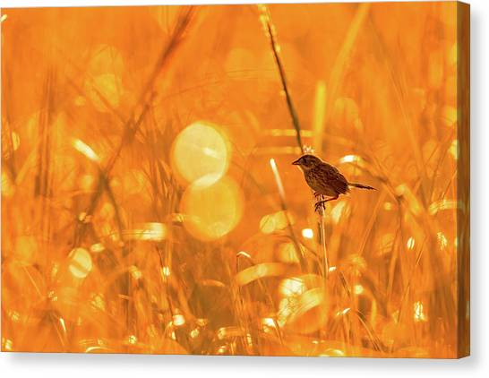 Marsh Sparrow Canvas Print