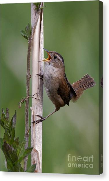Marsh Wren In The Green Canvas Print