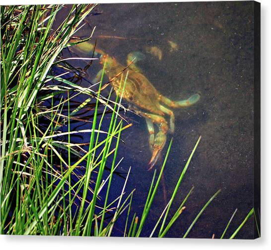 Canvas Print featuring the photograph Maryland Blue Crab Lurking In An Assateague Marsh by Bill Swartwout Fine Art Photography