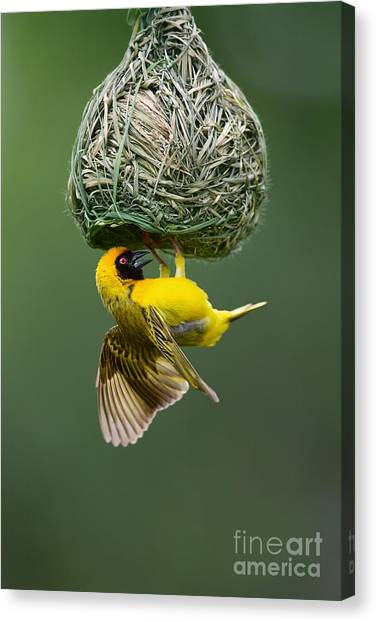 Southern Africa Canvas Print - Masked Weaver Ploceus Velatus Hanging by Johan Swanepoel