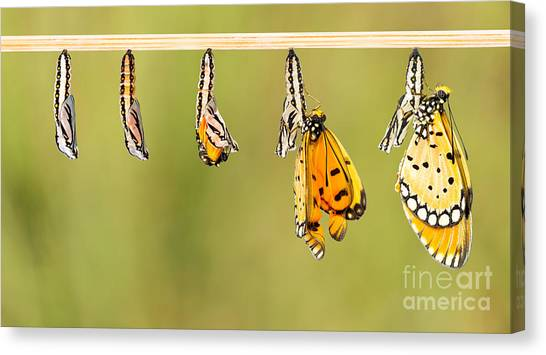 Change Canvas Print - Mature Cocoon Transform To Tawny Coster by Mathisa
