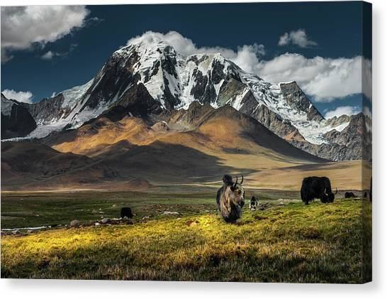 Yak Canvas Print - Meadow Field With Snow Mountain by Coolbiere Photograph