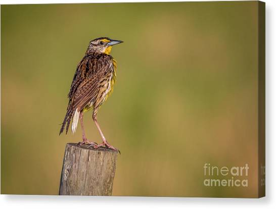 Canvas Print featuring the photograph Meadowlark On Post by Tom Claud