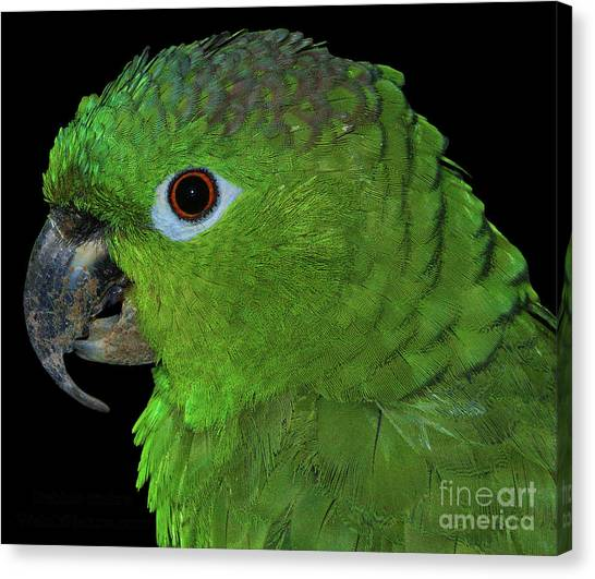 Mealy Amazon Canvas Print