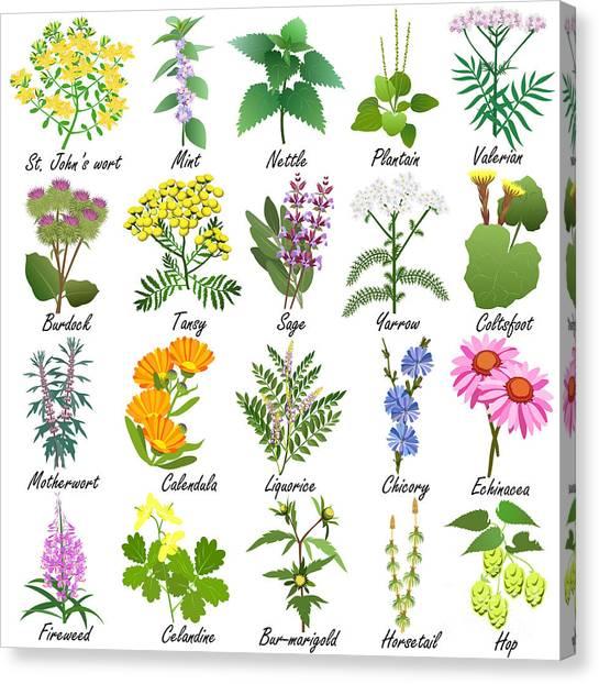 Medical Canvas Print - Medicinal And Healing Herbs Collection by Tatiana Liubimova