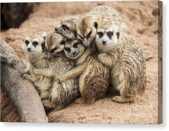 Southern Africa Canvas Print - Meerkat Family Are Sunbathing by Nattanan726