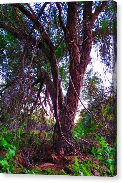 Canvas Print featuring the photograph Mesquite By The Wash by Judy Kennedy