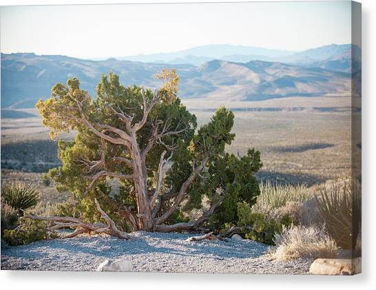 Mesquite In Nevada Desert Canvas Print