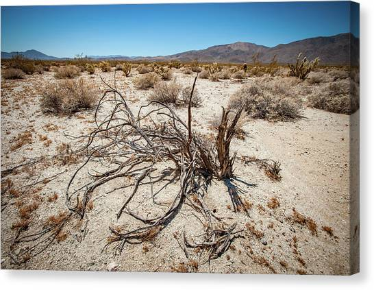 Mesquite In The Desert Sun Canvas Print