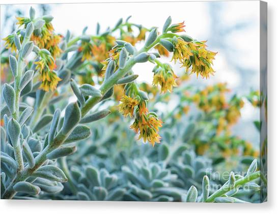 Mexican Echeveria In The  Morning Canvas Print