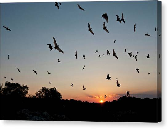 Mexican Free-tailed Bats Tadarida Canvas Print