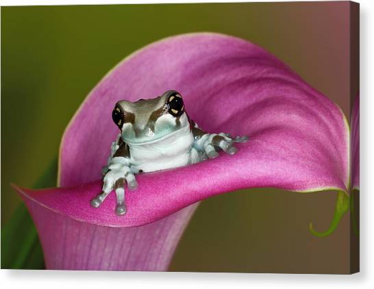 Mission Golden-eyed Tree Frog Or Milk Canvas Print by Adam Jones