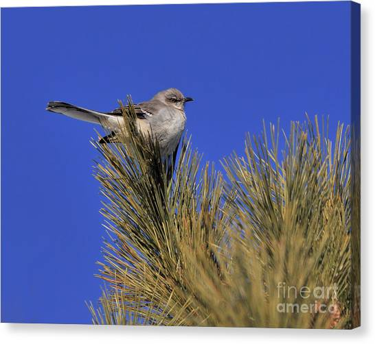 Mockingbird In White Pine Canvas Print