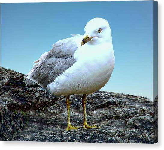 Canvas Print featuring the photograph Moewe Seagull by Anthony Dezenzio