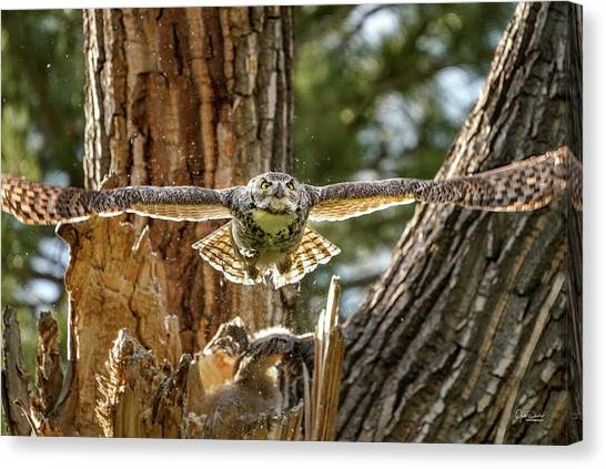 Momma Great Horned Owl Blasting Out Of The Nest Canvas Print