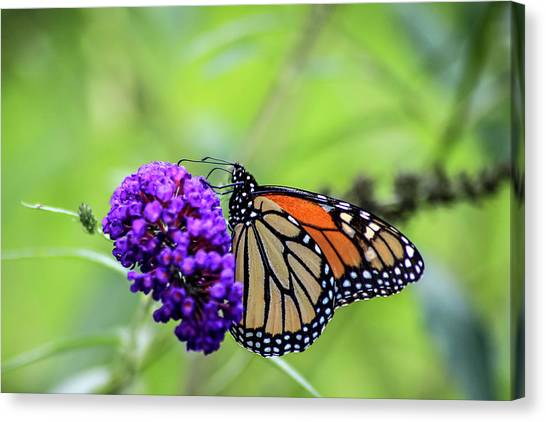 Canvas Print featuring the photograph Monarch And Black Knight by Dawn Richards