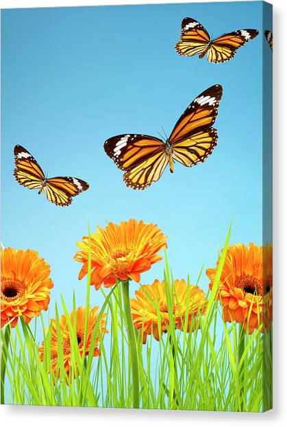 Monarch Butterflies With Grass And Canvas Print by Chris Stein