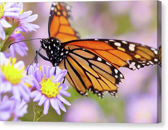 Monarch Close-up Canvas Print
