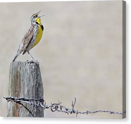 Meadowlarks Canvas Print - Montana Meadowlark's Spring Song by Jennie Marie Schell