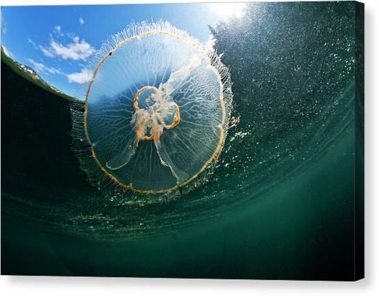 Moon Jellyfish, Alaska Canvas Print by Paul Souders