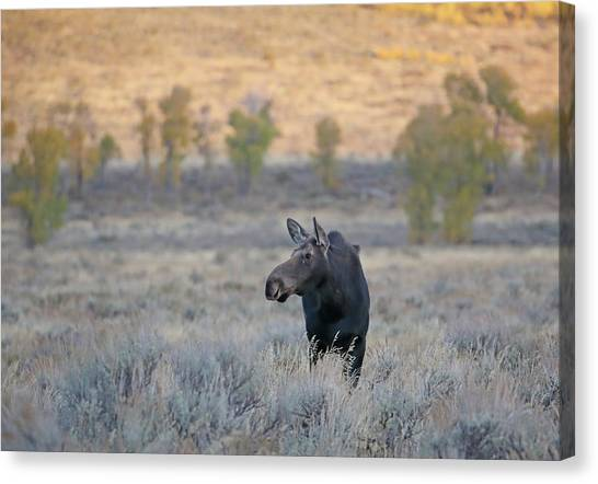 Canvas Print featuring the photograph Moose Cow In Gros Ventre by Jean Clark
