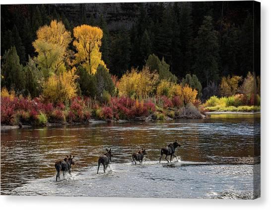 Moose Crossing Canvas Print by Leland D Howard