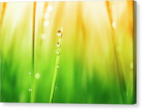Blade Of Grass Canvas Print - Morning Dew On Blades Of Grass During by Sbayram