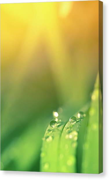 Blade Of Grass Canvas Print - Morning Dew On Blades Of Grass With by Pawel.gaul