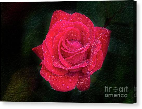 Morning Mist On Red Rose Canvas Print