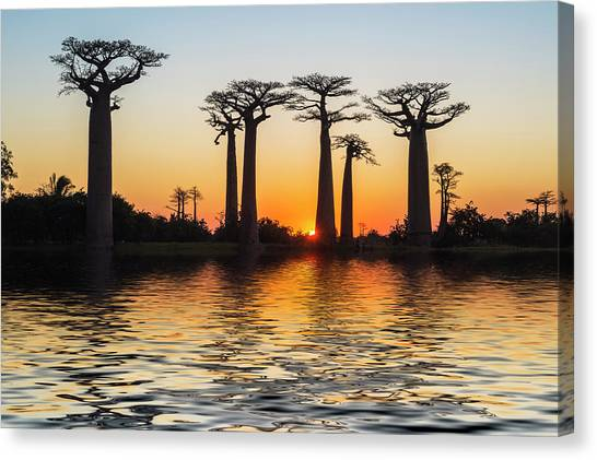 Morondava, Baobab Alley Canvas Print by Gabrielle Therin-weise
