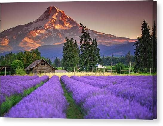 Mount Hood Lavender Field  Canvas Print