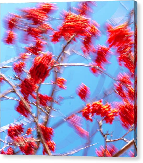 Mountain Ash Tree With Berries In Very Strong Wind Canvas Print