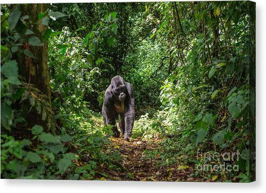 Zoology Canvas Print - Mountain Gorillas In The Rainforest by Gudkov Andrey