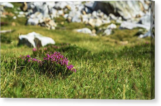 Mountain Heather Canvas Print