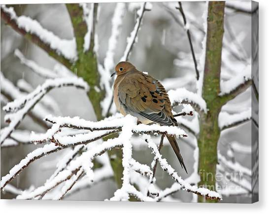 Mourning Dove In Snowstorm Canvas Print
