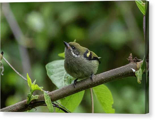 Moustached Tinkerbird Canvas Print