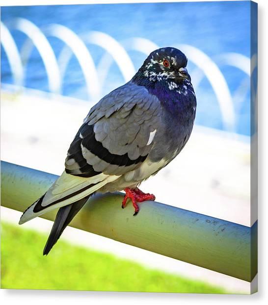 Mr. Pigeon Canvas Print