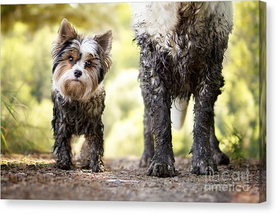Muddy Little Dog Stands Next To A Muddy Canvas Print by Stickler