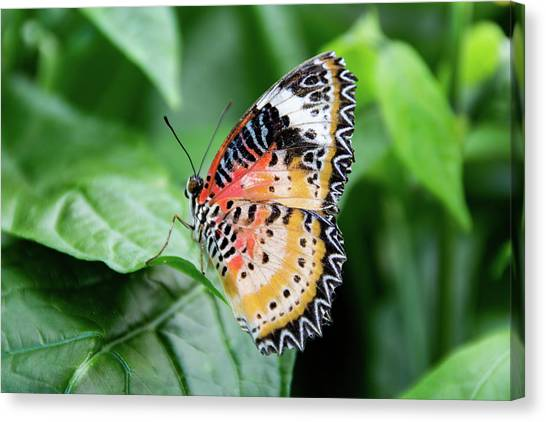 Multi Colored Butterfly Canvas Print