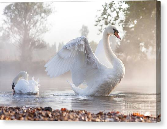 Swan Canvas Print - Mute Swan Cygnus Olor Stretching On A by Kevin Day