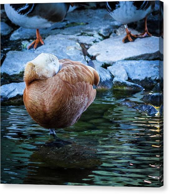 Napping At The Pond Canvas Print