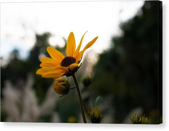 Narrowleaf Sunflower 2 Canvas Print by Christine Buckley