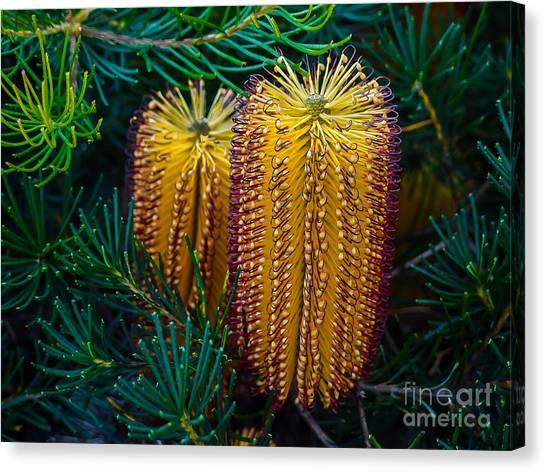 Shrub Canvas Print - Native Banksia Flower by Lily Zdilar