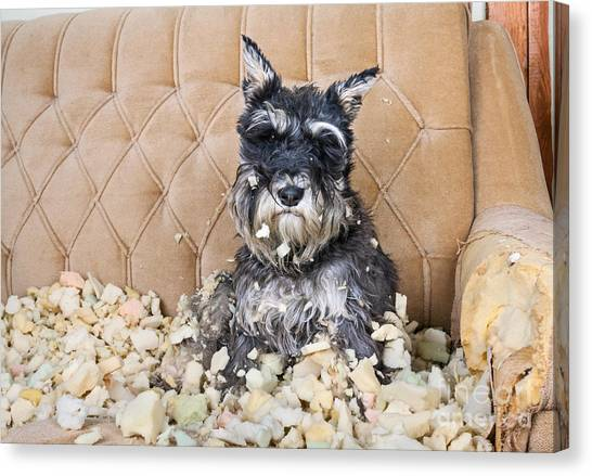 Purebred Canvas Print - Naughty Bad Schnauzer Puppy Dog Sitting by Maximilian100