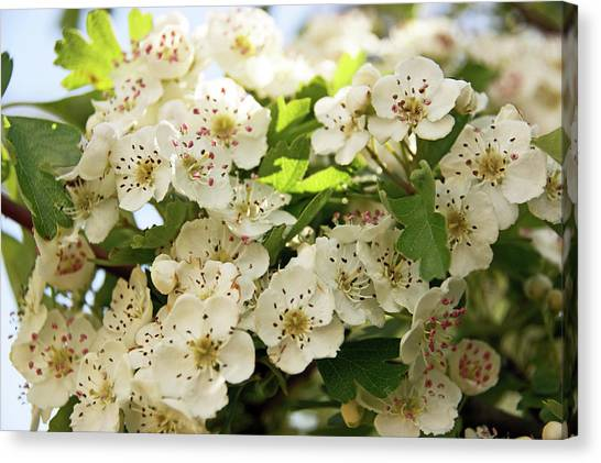 Neston.  Hawthorn Blossom. Canvas Print
